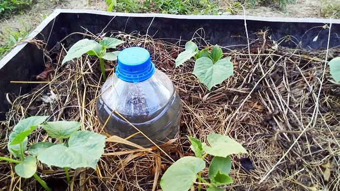 Секрет хорошего урожая: как организовать капельный полив бутылками.