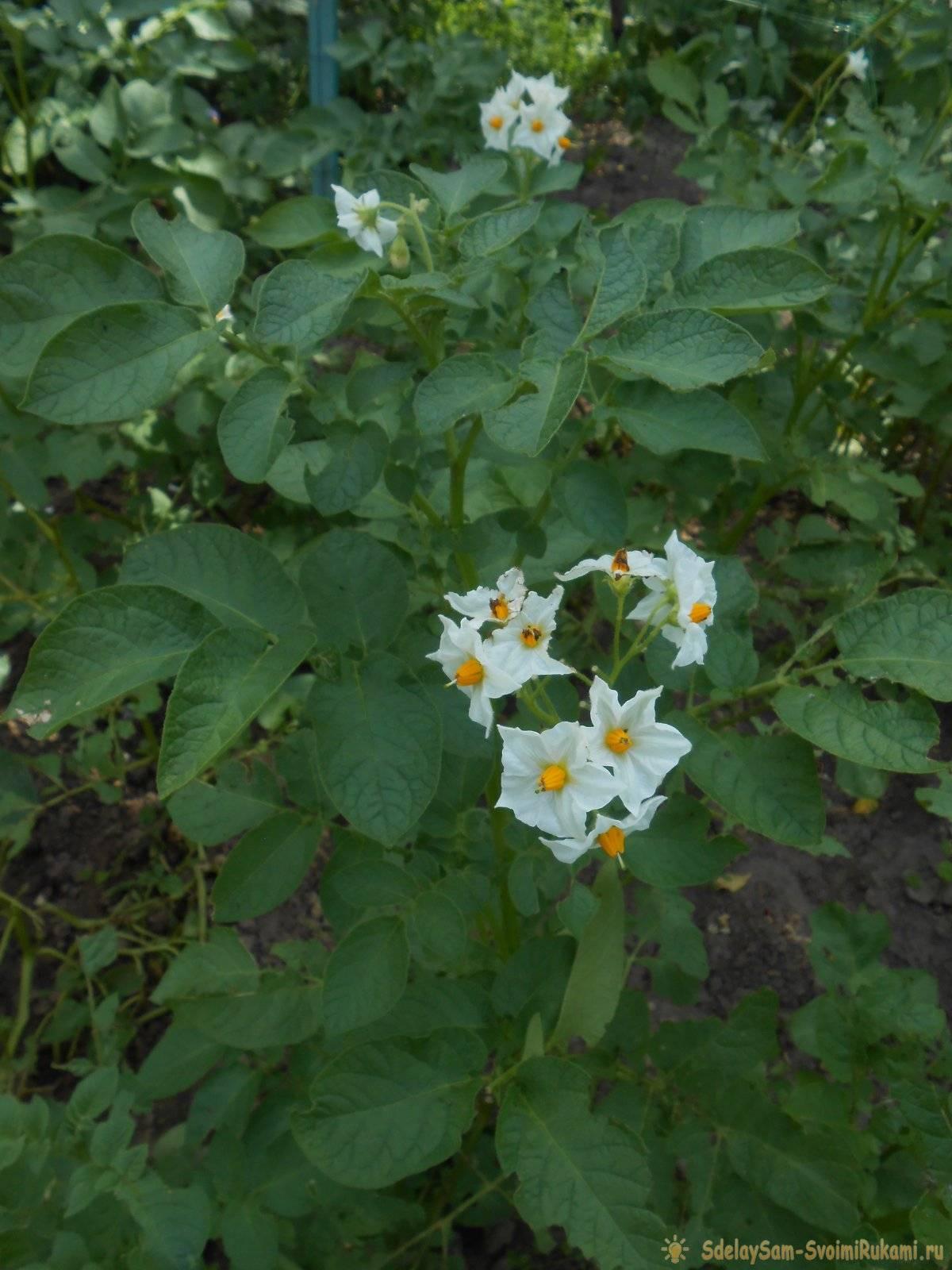Четыре эффективных приема для повышения урожайности картофеля