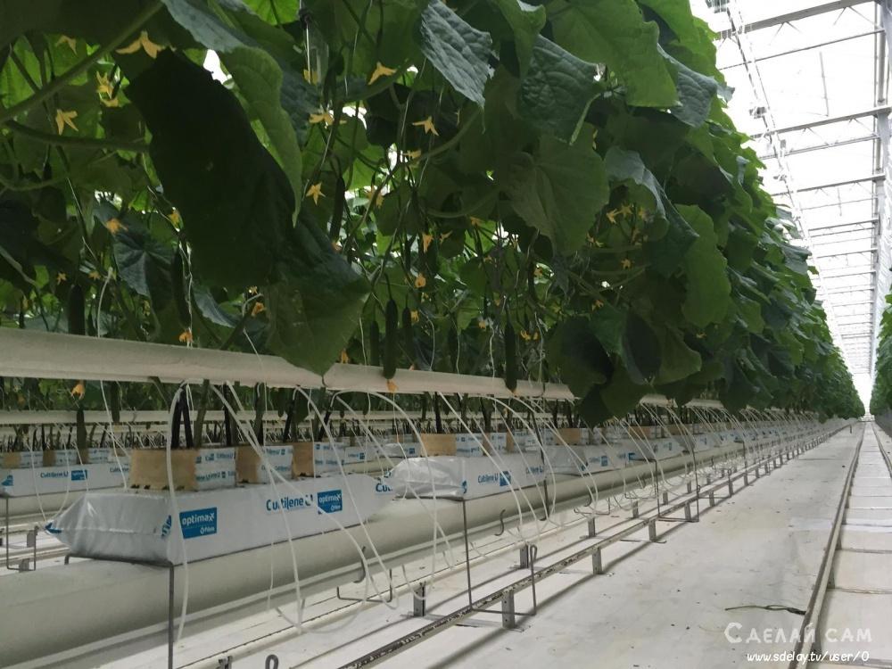 Огурцы на гидропонике: посев, посадка и выращивание