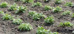 Как правильно рассадить клубнику?