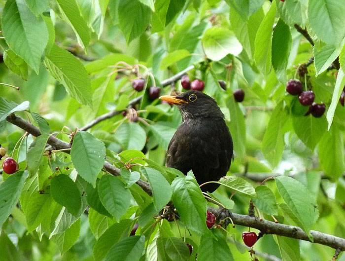 Как сберечь черешню от птиц? Действенный метод!