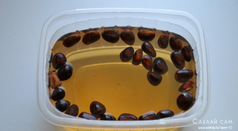 Выращиваем кедр из орешков своими руками