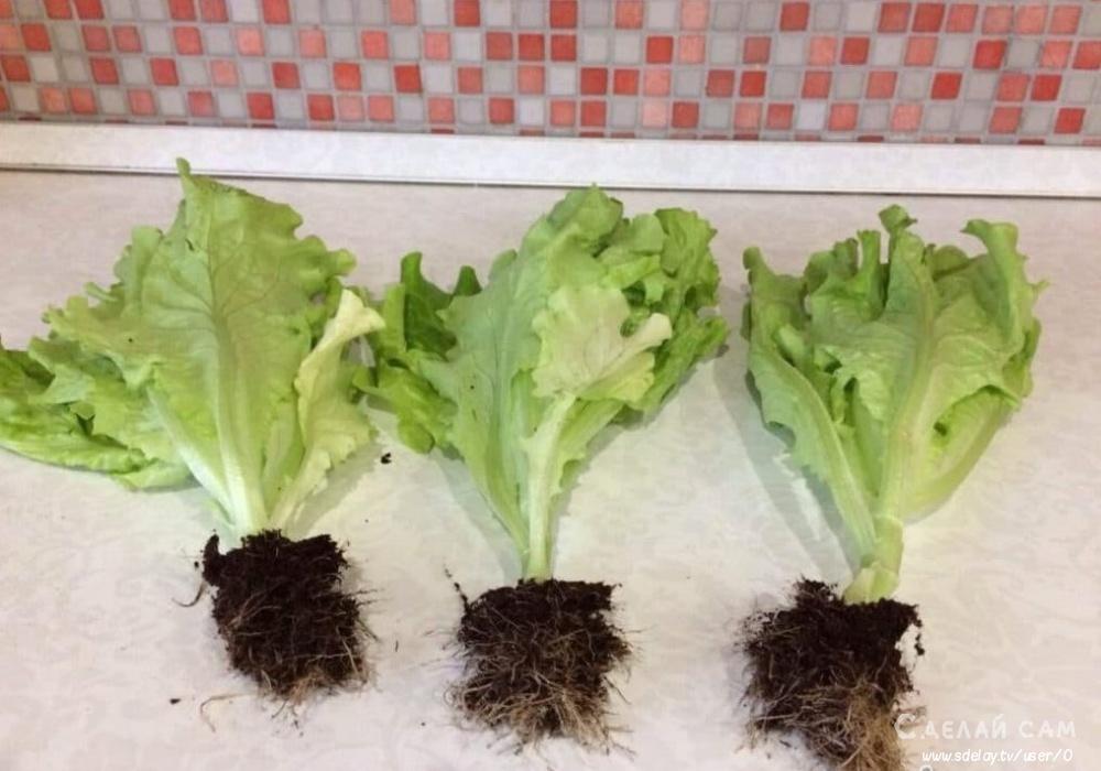 Выращиваем кочанный салат в домашних условиях