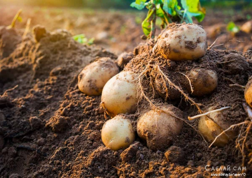 Как правильно копать картофель и сохранить урожай?