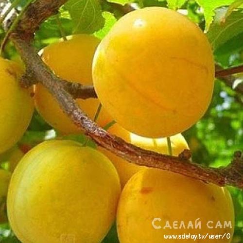 Русская слива (Алыча): Выращивание, Сорта, Особенности