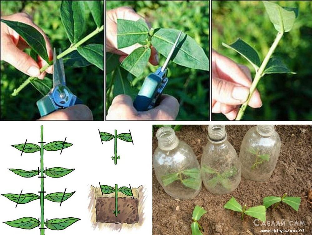 Как выращивать многолетние флоксы: посадка, уход и размножение