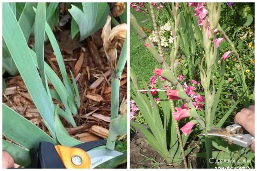 Выращивание гладиолусов. Особенности посадки и ухода