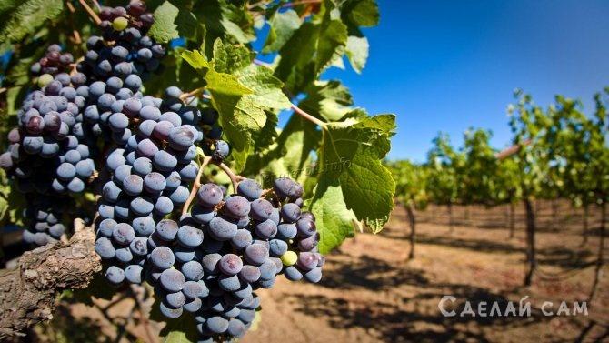 Удобрение винограда. Какое удобрение выбрать для хорошего урожая?
