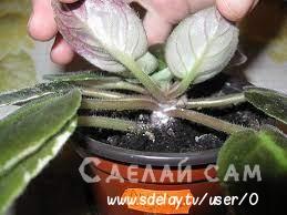 Комнатная фиалка: болезни и вредители. Лечим растения в домашних условиях