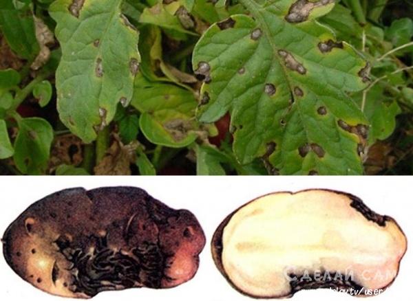 Грибковые заболевания картофеля, способы лечения и меры профилактики