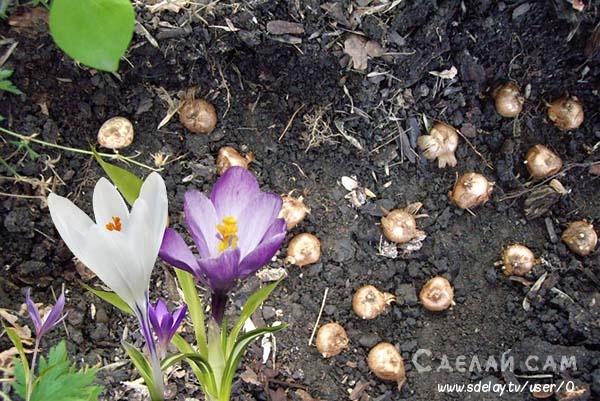 Крокус - когда сажать? Когда цветет? Как ухаживать?
