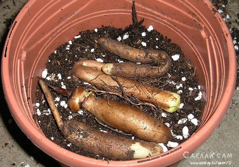 Глориоза — выращивание и уход