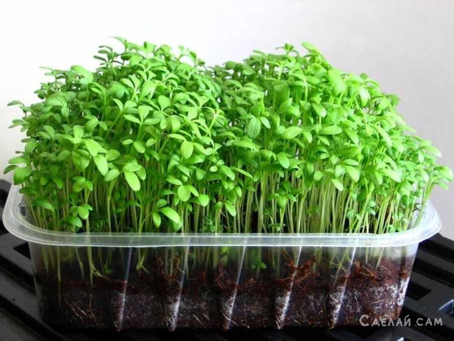 Садовый кресс-салат. Выращивание, применение