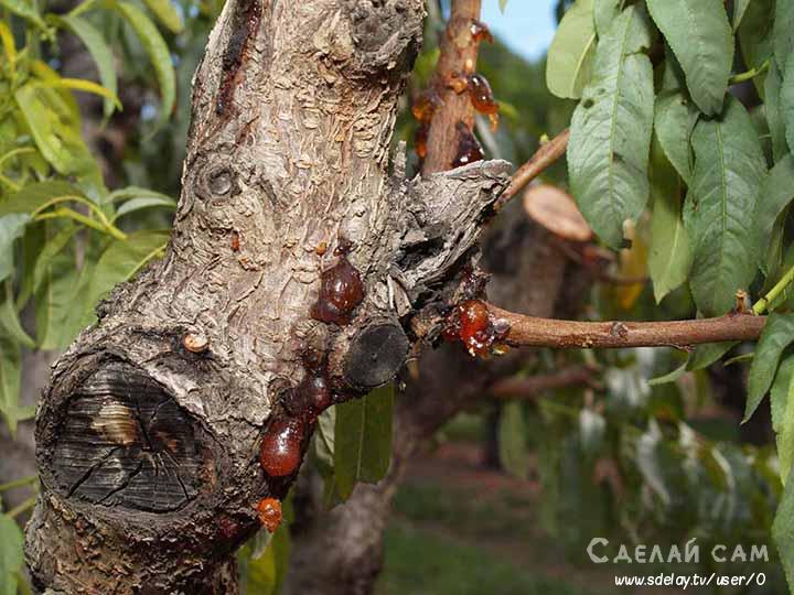Как бороться с болезнями и вредителями абрикоса?