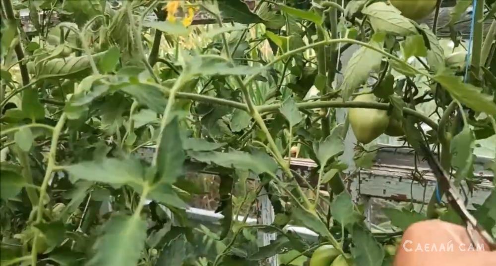 Как обрезать листья у помидоров в теплице